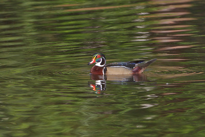 Wood Duck of Casselberry