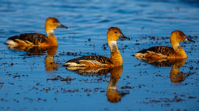 Fulvous Whistling Duck, Lake Apopka Wildlife Drive