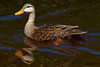 "Mottled Duck, J.N. ""Ding"" Darling NWR"