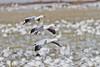 Snow Geese, Bosque del Apache NWR
