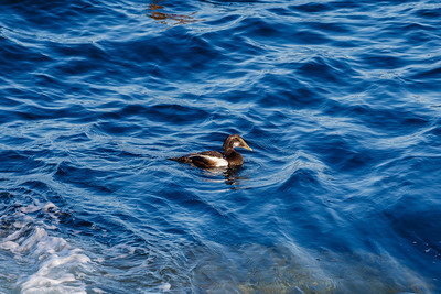 Common Eider, Pemaquid Point, Maine