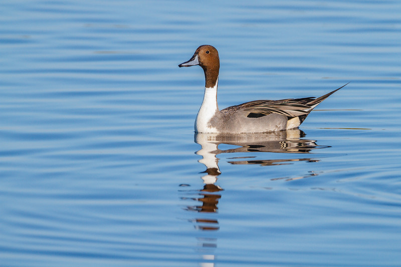 Northern Pintail, Merritt Island NWR