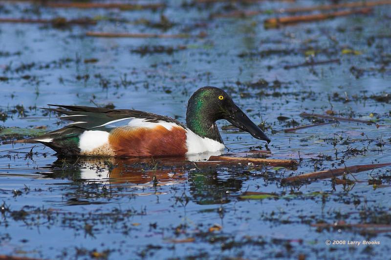 Northern Shoveler floats among the debris at Viera Wetlands