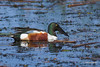 Northern Shoveler floats among the debris at Viera Wetlands