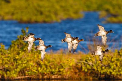 Lesser Scaups in flight, Merritt Island NWR.