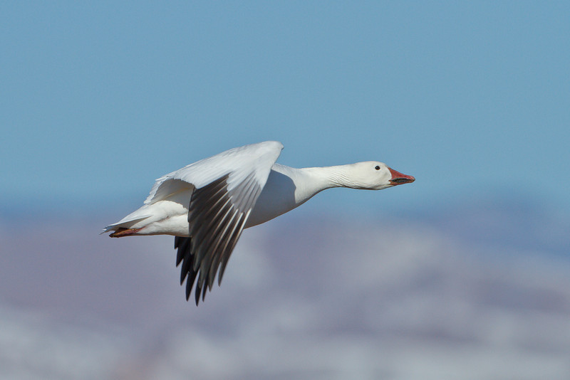 Snow Goose in flight over Bosque del Apache NWR, New Mexico