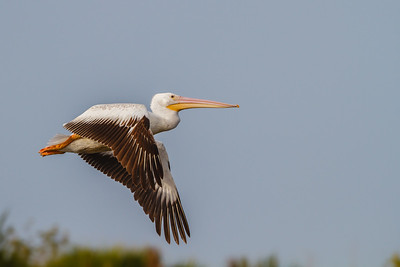 White Pelican, Merritt Island NWR