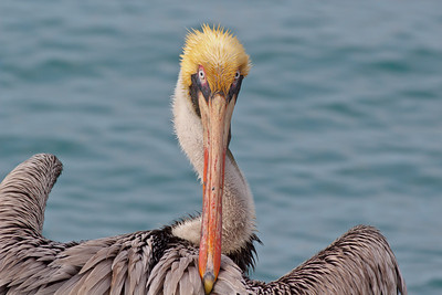 Brown Pelican, Fort Pierce inlet