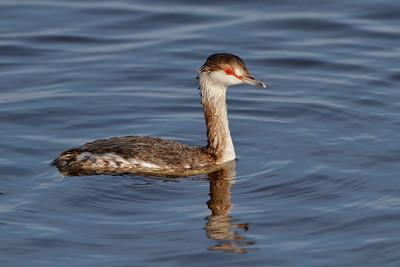 Horned Grebe, Merritt Island NWR