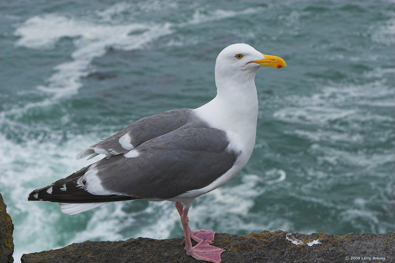 Western Gull along the central Oregon coast