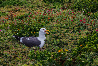 Western Gull, Channel Islands National Park (California)