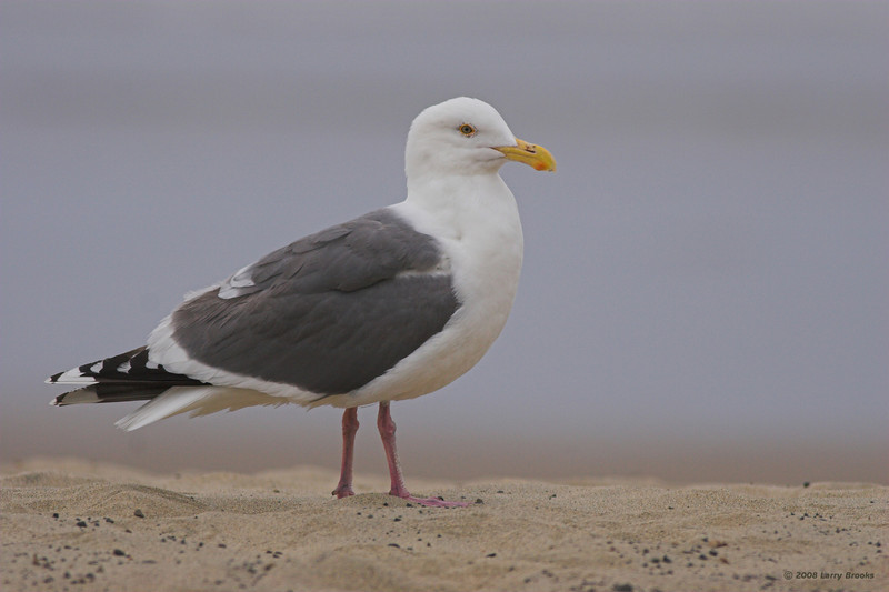 Western Gull, seen along the central Oregon coast
