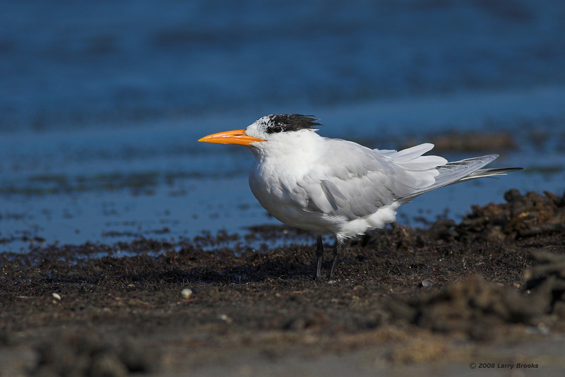 A lone Royal Tern rests near Titusville