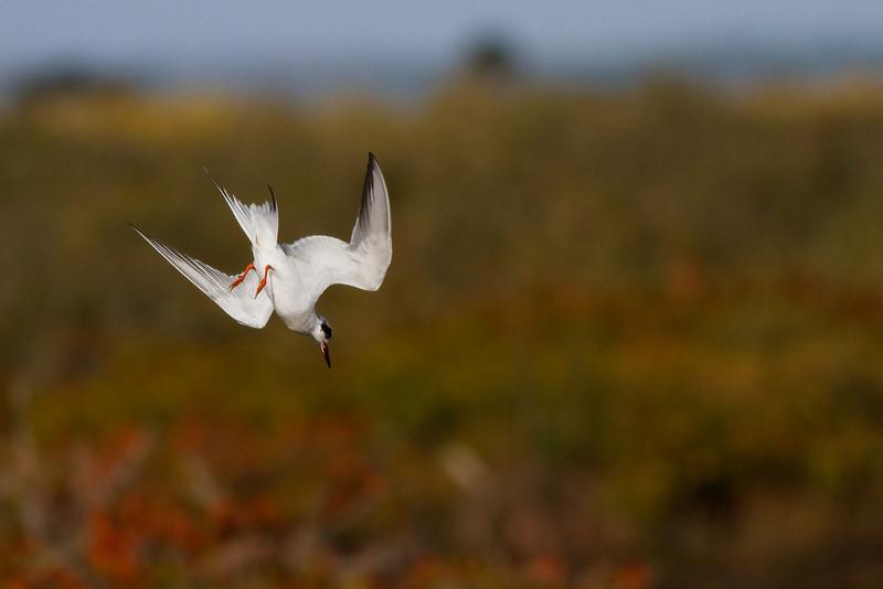 A Forster's Tern takes a dive a Merritt Island NWR.