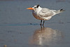 Resting Royal Tern at Ormond Beach