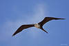 A Magnificant Frigatebird hovers lazily over the Dry Tortugas