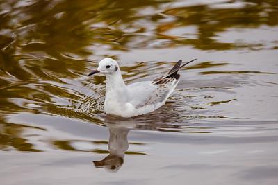 Bonaparte's Gull, Merritt Island NWR