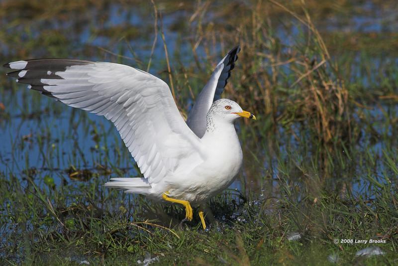 Ring-billed Gull at Joe Overstreet's Landing