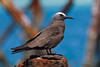 A Brown Noddy with a colorful background enjoys a rest at the Dry Tortugas