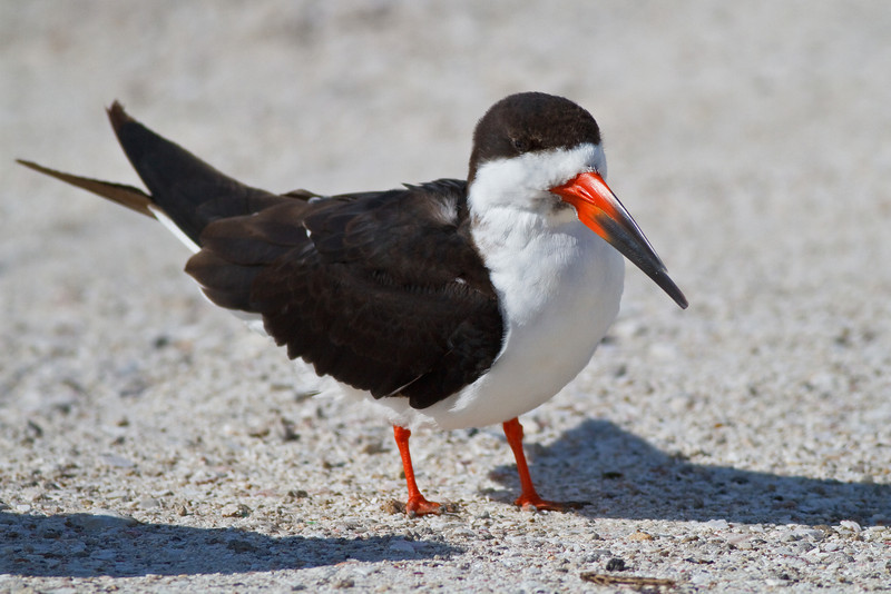 Black Skimmer at rest, Merritt Island NWR