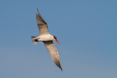 Caspian Tern, Merritt Island NWR