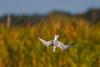 Forster's Tern, Viera Wetlands