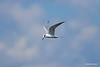 A Least Tern soars over Orlando Wetlands