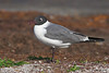 Laughing Gull takes a rest near Titusville