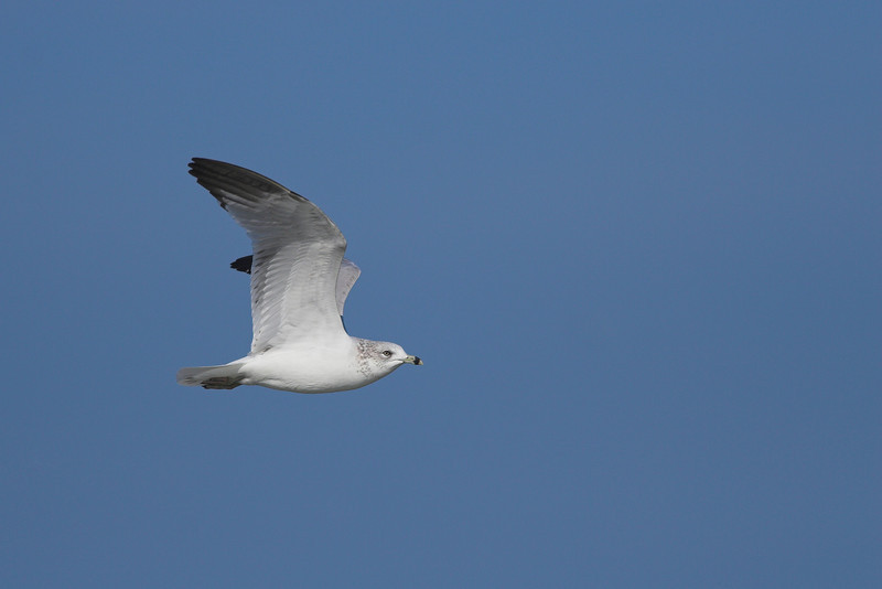 Ring-billed Gull in flight over Ponce Inlet
