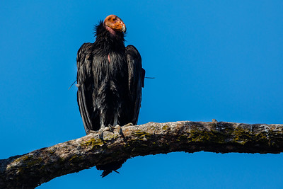California Condor at Pinnacles National Park (California)