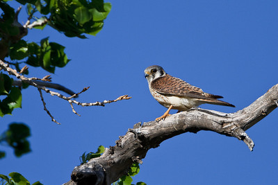 American Kestrel keeps watch over Denver suburbs