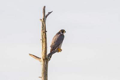Peregrine Falcon, Viera Wetlands