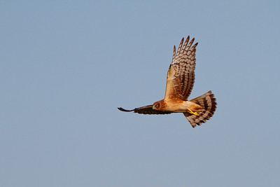 Northern Harrier in flight over Merritt Island NWR