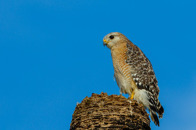 Red-shouldered Hawk, Myakka River SP