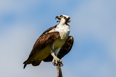 Osprey, Everglades National Park (Florida)
