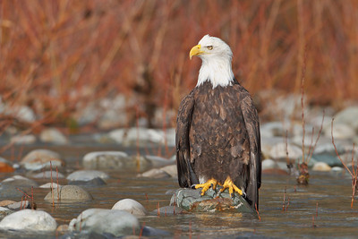 Bald Eagle resting along the Skagit River in Washington