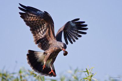Snail Kite, about to make landing (Lake Kissimme)