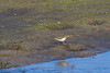 Spotted Sandpiper? Seen near Oak Hill, Florida