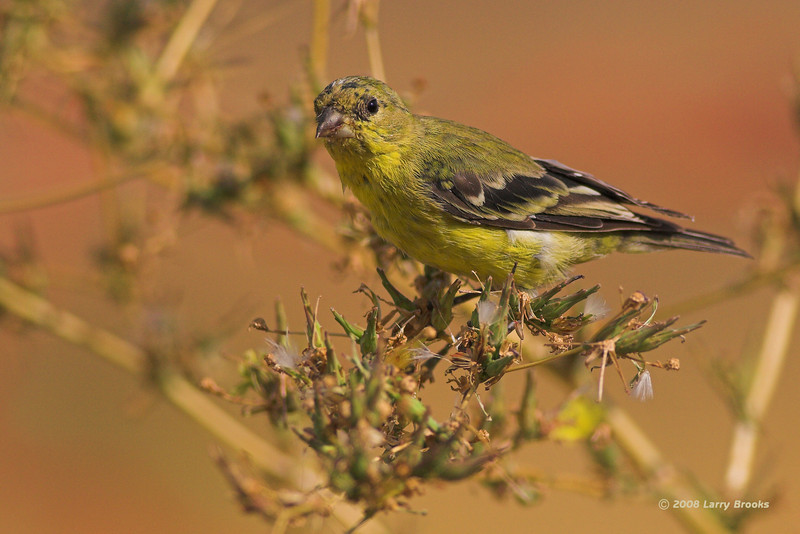 Seen October 1 near Warm Springs, Oregon (central/east Oregon). Lesser Goldfinch?