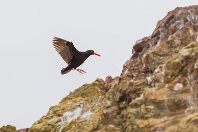 Black Oystercatcher, Estero Bluffs State Park (California)