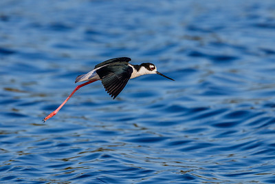 Black-necked Stilt at Myakka River SP