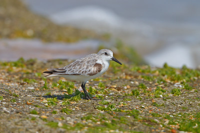 Sanderling, Washington Oaks Garden State Park