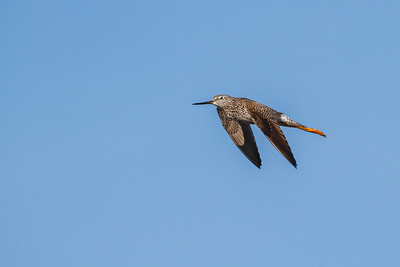 Greater Yellowlegs, Merritt Island NWR
