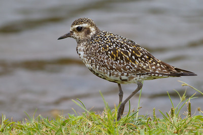 Pacific Golden-Plover, seen on Oahu, Hawaii