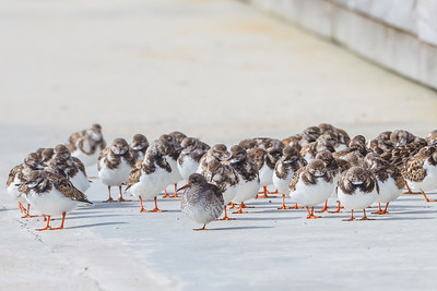 Purple Sandpiper hanging with the Rudy Turnstone crowd at Fort Clinch SP