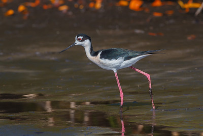 Black-necked Stilt, Merritt Isand NWR