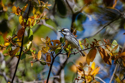 Blackthroated Gray Warbler, Chirichua National Monument (Arizona)