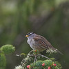 A White-crowned Sparrow snacks on pine needles along the north-central Oregon coast