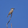 A Gray Kingbird on the perch at Long Key SP