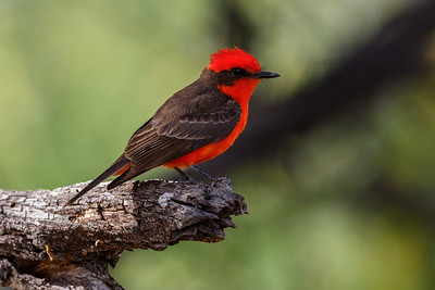 Vermillion Flycatcher, Catalina State Park (Arizona)